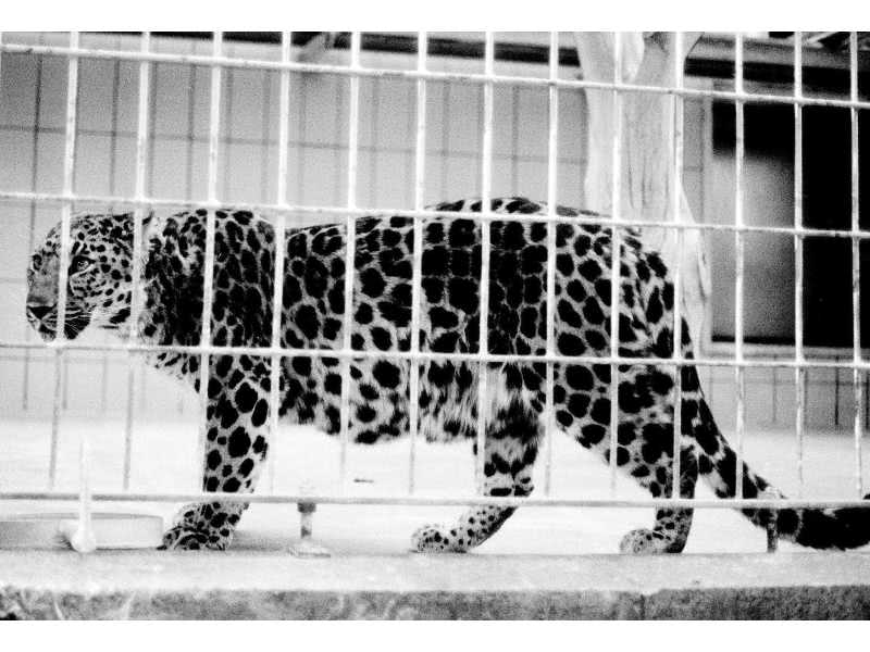 Panther im Frankfurter Zoo 1985 / Panther in Frankfurt Zoo 1985